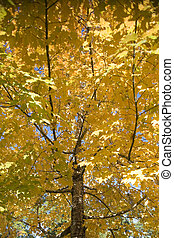 Yellow fall foliage 1