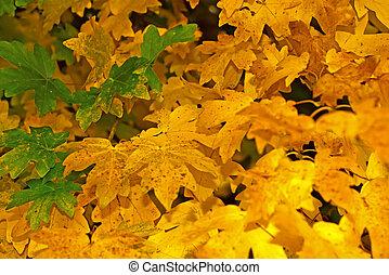 Yellow fall foliage on a tree