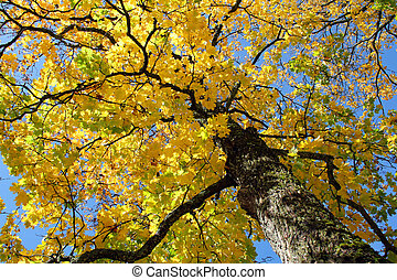 Yellow Fall Maple against Blue Sky