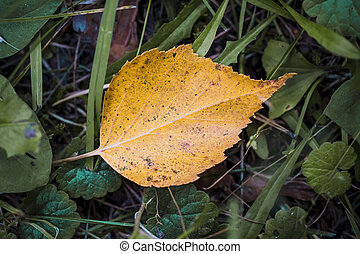 Yellow fallen leaf in green grass