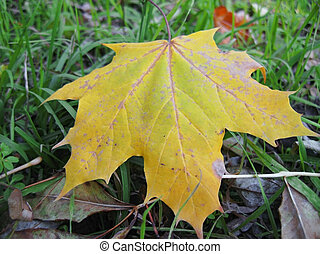 Yellow fallen leaf of acer on the green grass