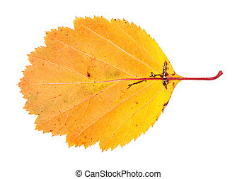 yellow fallen leaf of hawthorn isolated on white