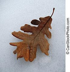 Yellow fallen leaf of oak on the snow crust
