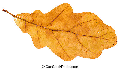 yellow fallen leaf of oak tree isolated on white background