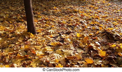 Yellow fallen leaves in autumn forest.