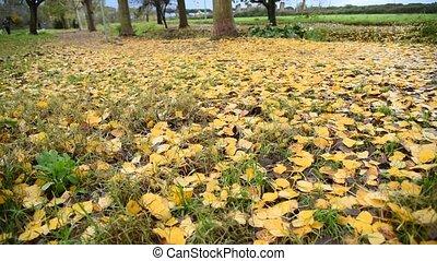 Yellow fallen leaves in park