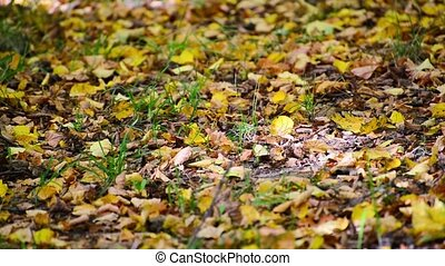 Yellow fallen leaves lying on ground