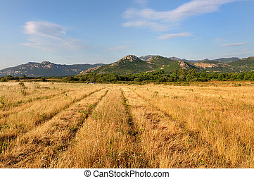 yellow field in Balagne - yellow field with hills background...