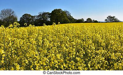 Yellow Field of Blooming Rape Seed in England
