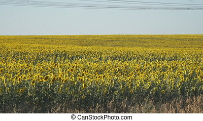 Yellow field of flowers of sunflowers against light, almost...