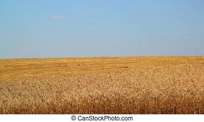 Yellow field of ripe wheat half chamfered