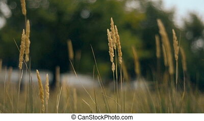 yellow field of spikelets moves from the wind