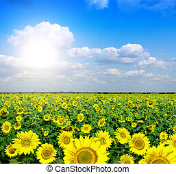 yellow field of sunflowers
