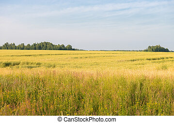 Yellow field on a background of green forest and blue sky