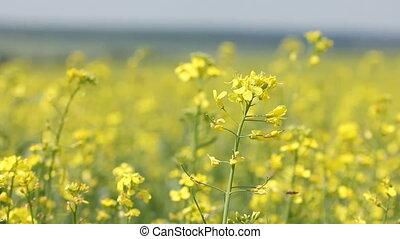 Yellow field panning - rape flowers