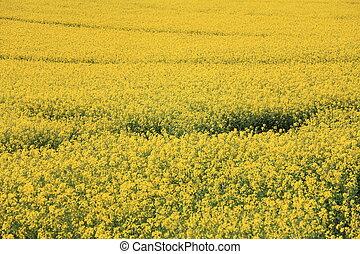 Yellow field rape