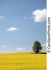 Yellow field rape in bloom with blue sky