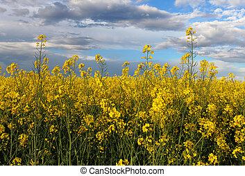 Yellow field - Rape