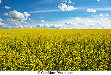 Yellow field rapeseed in bloom and blue cloudy sky