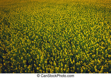 Yellow field rapeseed in bloom as background. Beautiful field of canola.
