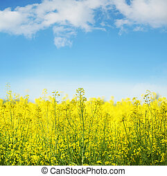 Yellow field rapeseed in bloom - Picture of yellow field ...