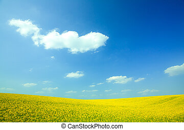Yellow field rapeseed in bloom with blue sky and white clouds