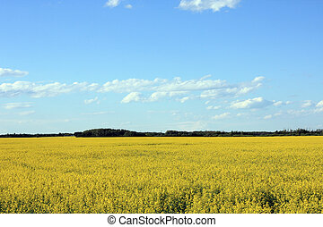 Calm and peaceful yellow field under a bright blue sky.