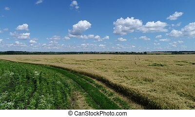yellow field with crushed wheat - A yellow field with...