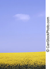 yellow field with oil seed rape in early spring