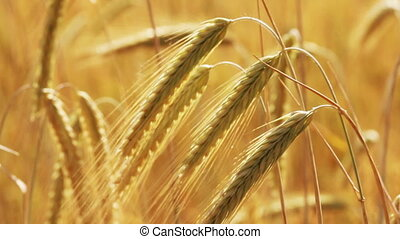 yellow field with ripe wheat close-up
