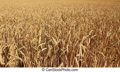 yellow field with wheat - yellow field with ripe wheat