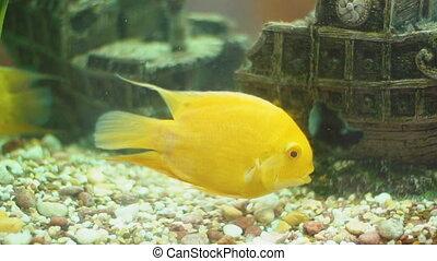 yellow fish in aquarium - yellow fish swimming in aquarium