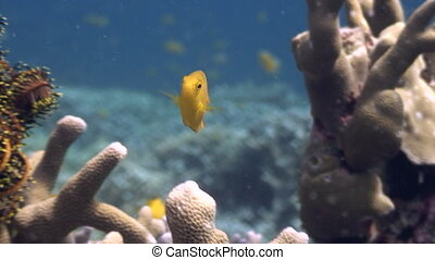 Yellow fish in coral sea close up underwater in ocean of wildlife Philippines.