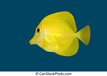 Yellow fish on blue - Yellow Tang (Zebrasoma flavescens)...