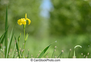 yellow flag blooming