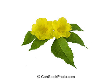 Yellow flower and green leaf isolated on white background