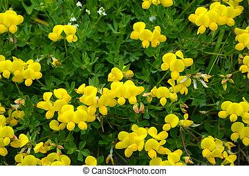 Yellow flower Birdsfoot Trefoil ( Lotus Alpinus )