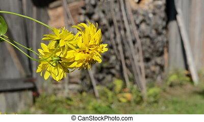 yellow flower bloom old rural build