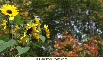 Yellow flower blooms and colorful maple tree leaves. 4K