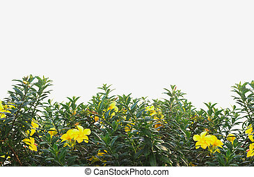 Yellow flower bush with green leaves isolated on white.