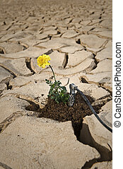 small plant with yellow flower cracked soil with drip irrigation system