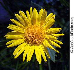 Yellow flower. Doronicum.