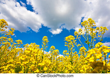 Yellow flower field and blue sky