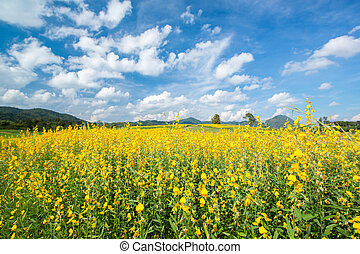 Yellow flower fields against blue sky