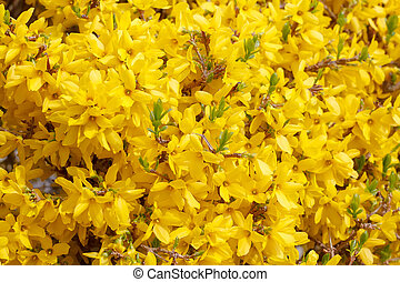 Beautiful Yellow blossom of forsythia bush in garden