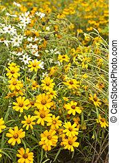 Yellow Flower, in the garden