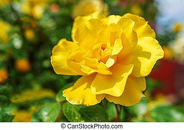 Yellow flower in the garden.