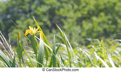 Yellow flower iris in the wind