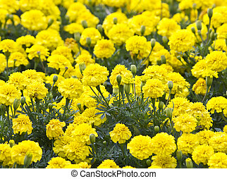 Yellow Flower, Marigold in the garden