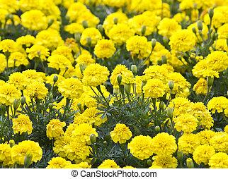 Yellow Flower, Marigold in the garden